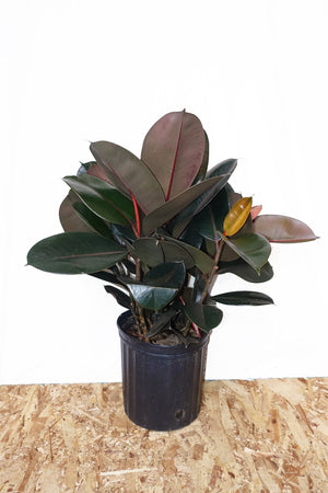 "8"" Rubber Tree - Burgundy"
