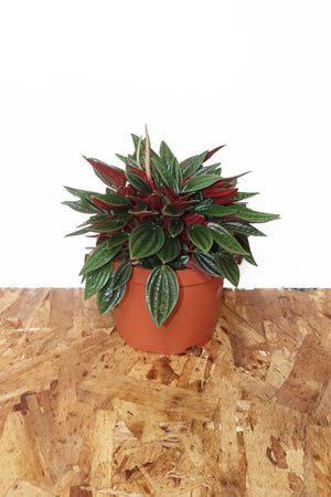"6"" Peperomia Rosso"