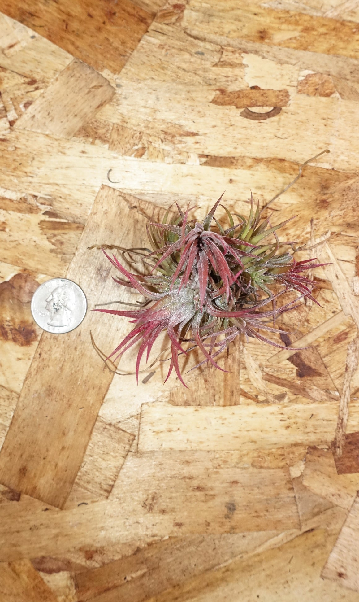 Tillandsia Ionthana Mexico - Medium