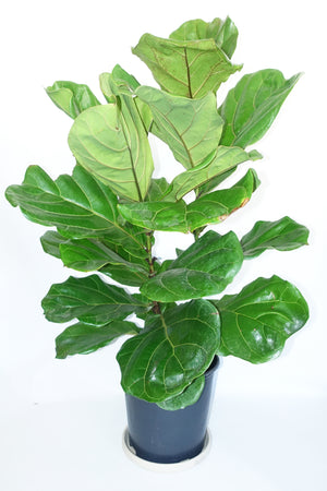 "10"" Fiddle Leaf Fig"