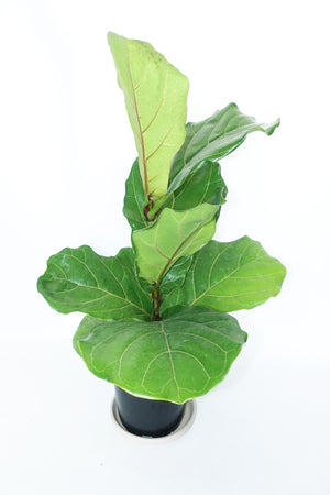 "6"" Fiddle Leaf Fig"