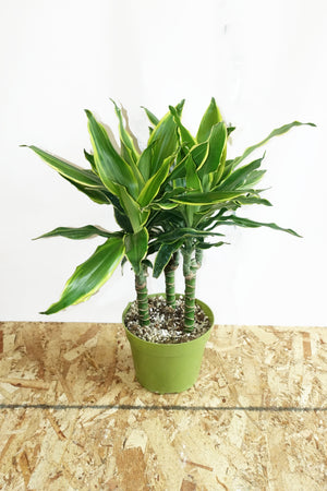 "6.5"" Dracaena - Moonlight Cane"