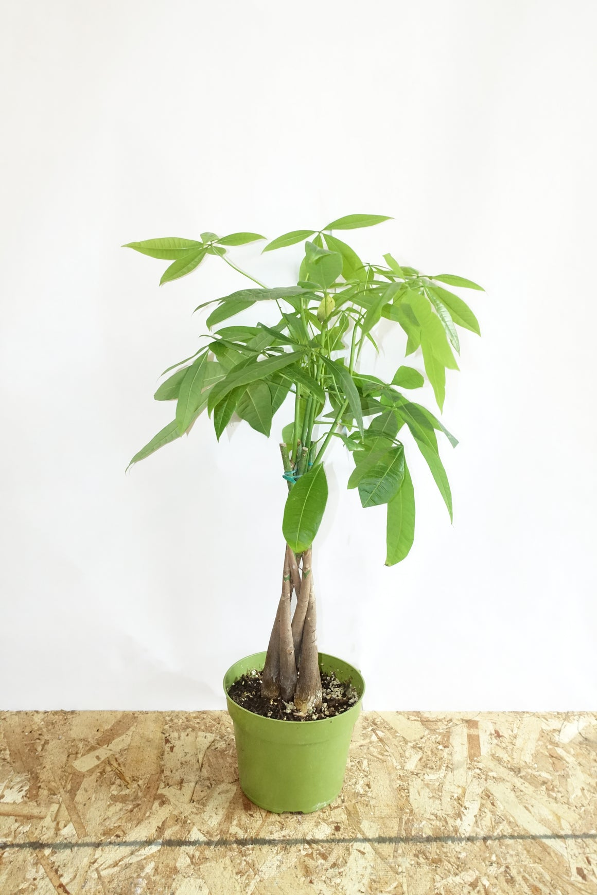 "6"" Money Tree"