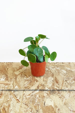 "4"" Chinese Money Plant"