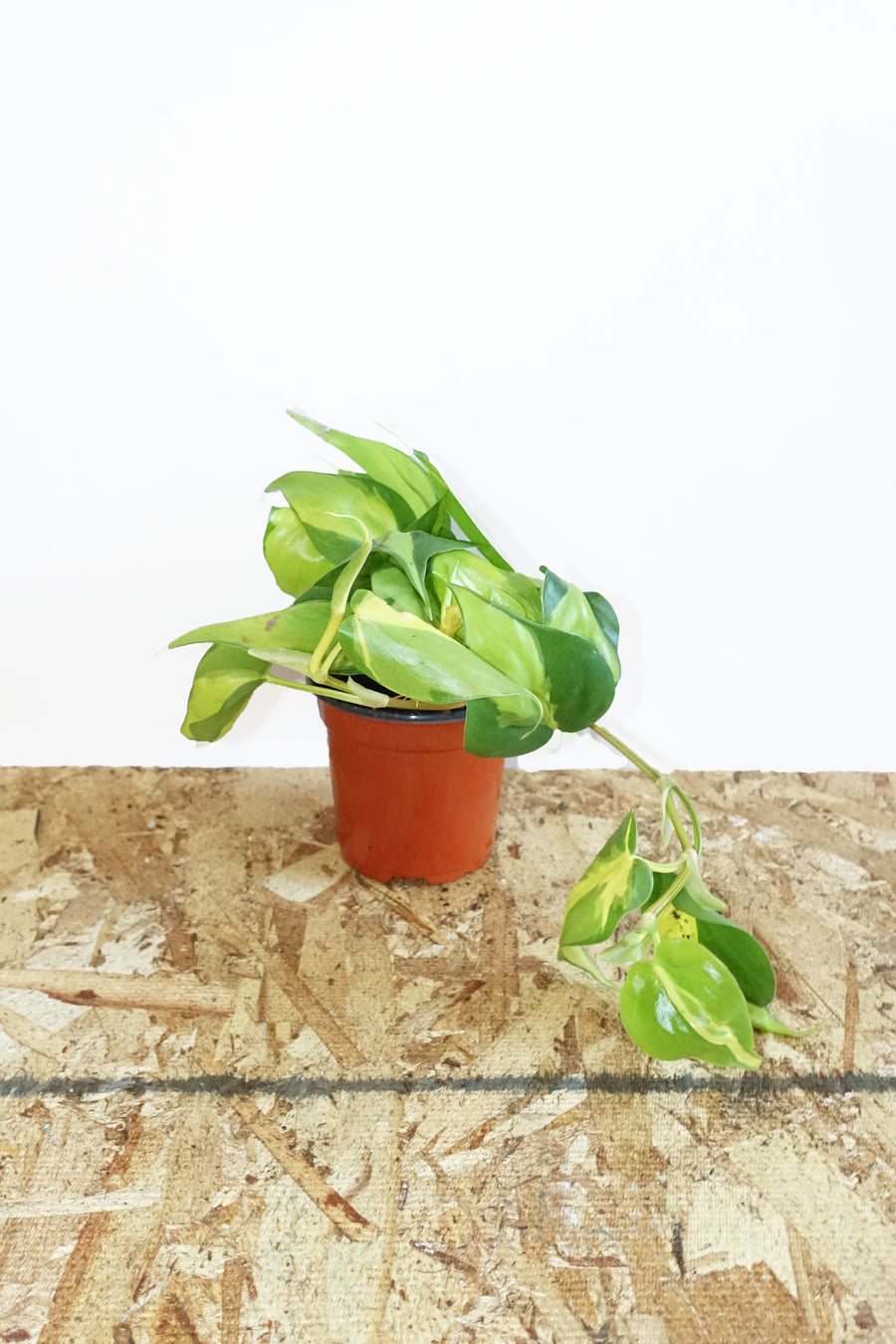 "4"" Philodendron Brasil"
