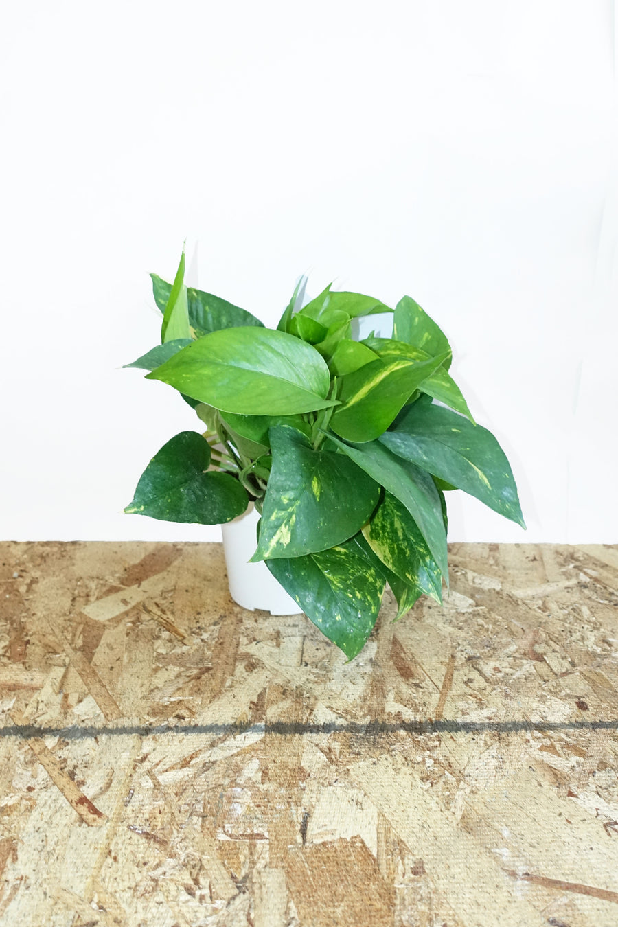 "4"" Pothos - Golden"