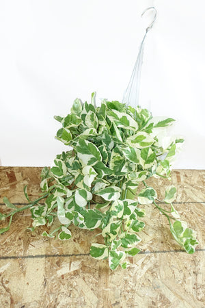 "6"" Pothos N'Joy- Hanging"