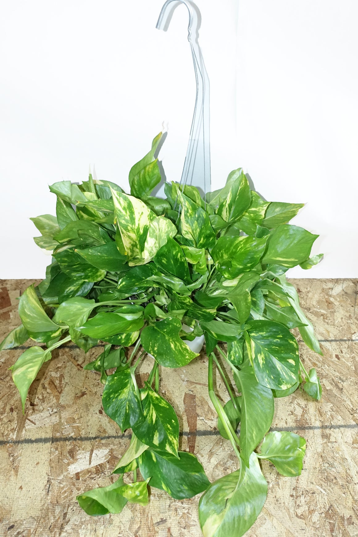 "6.5"" Pothos Golden - Hanging"