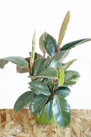 "6"" Rubber Tree - Ruby"