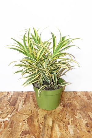 "6.5"" Dracaena - Song of India"