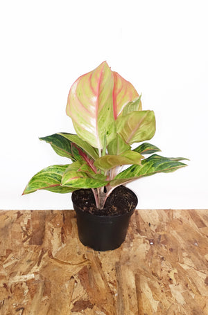 "6"" Aglaonema - Golden Papaya"