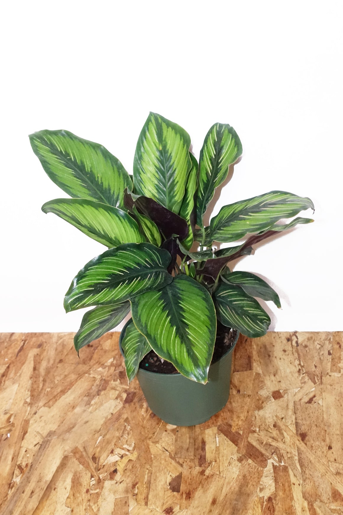 "6"" Calathea - Beauty Star"