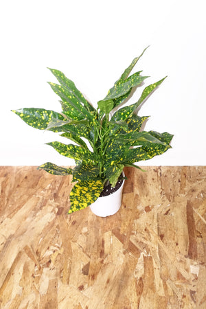 "4"" Croton - Gold Dust"