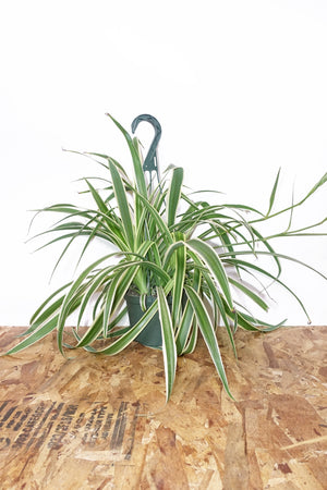 "6"" Spider Plant - Hanging"