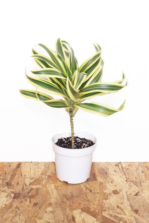 "4"" Dracaena - Song of India"