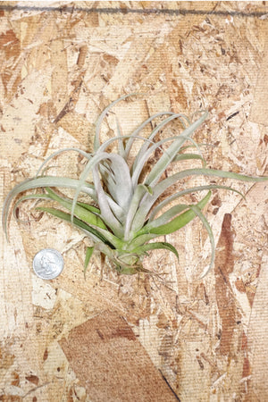 Tillandsia Capitata Peach - Large
