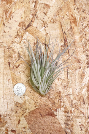 Tillandsia Houston Cotton Candy - Small