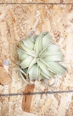 Tillandsia Xerographica - Medium