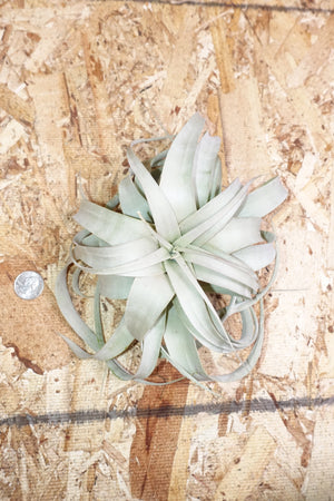 Tillandsia Xerographica - Small