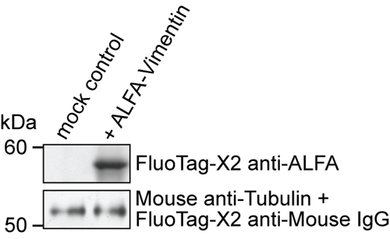 FluoTag®-X2 anti-ALFA for Western Blotting