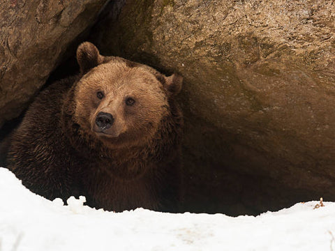 brown bear hibernating for the winter in the cave, snow outside