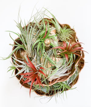 Single Air Plants