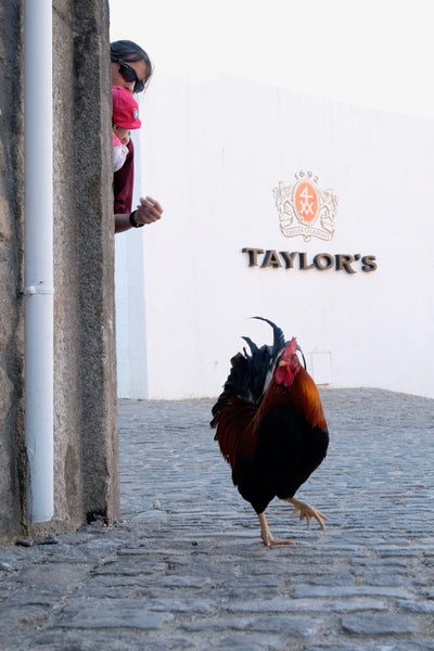 taylor's rooster