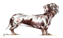 JanaRoos - Jana Roos - Hand drawn illustration - Print - Design - dachshund - teckel  - dog - hond