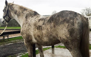 The rainy season brings mud. Here are a few tricks to getting your horse clean!