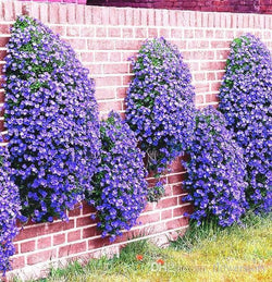 50+ PERENNIAL FLOWERING GROUNDCOVER SEEDS -Rock Cress - Bright Blue - TheUrbanSky