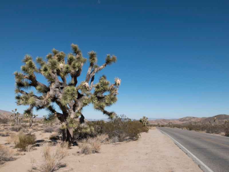 Wanderlust Series- Joshua Tree