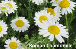 Roman Chamomile Essential Oil - A History & Benefits