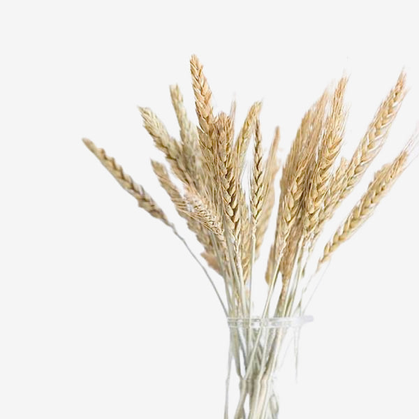 Wheat Ear Dried Branches 20-Stem Trend