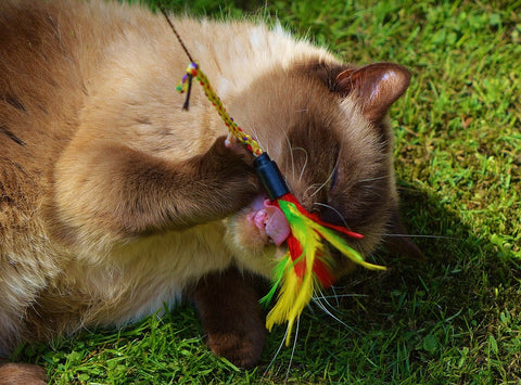 Cat playing with feather teaser in the grass