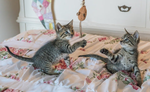 kitten Playing on Bed