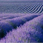 Lavender Fields Crafter's Choice Premium Fragrance Oil