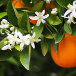 Orange Blossom Premium Fragrance Oil