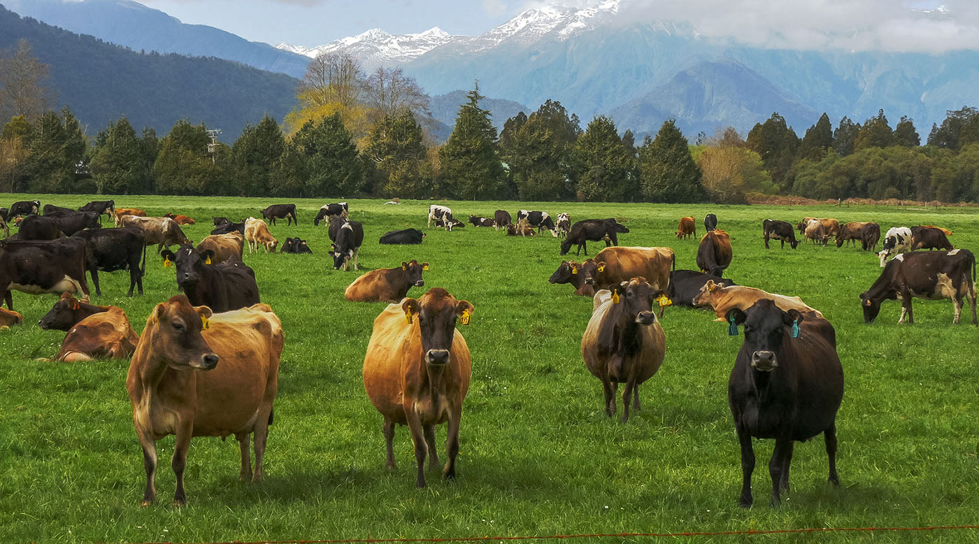 new zealand grass-fed dairy cows