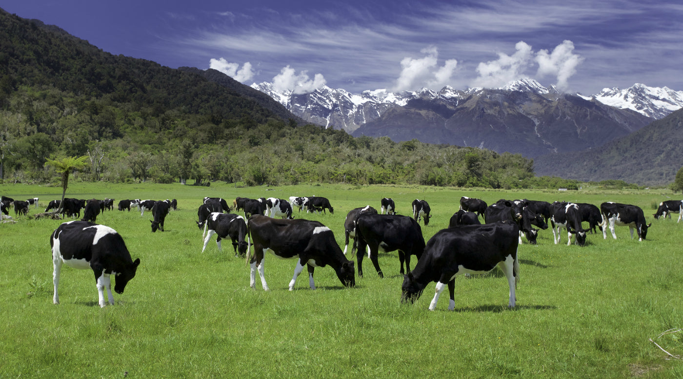 Cows grazing free range new zeland