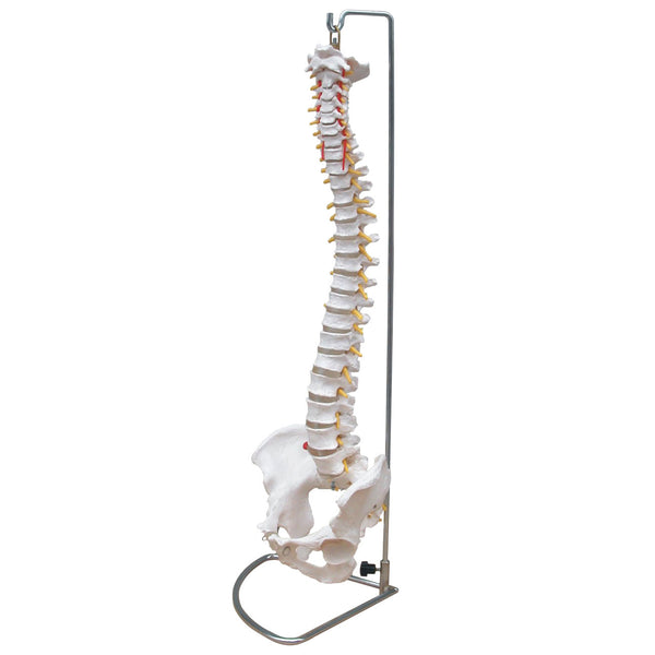 Life Size Flexible Spine Model