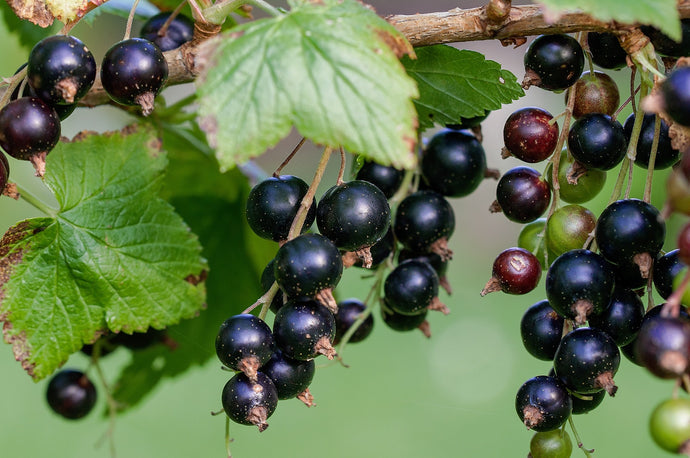 Top 13 Remarkable Black Currant Seed Oil Benefits and Uses