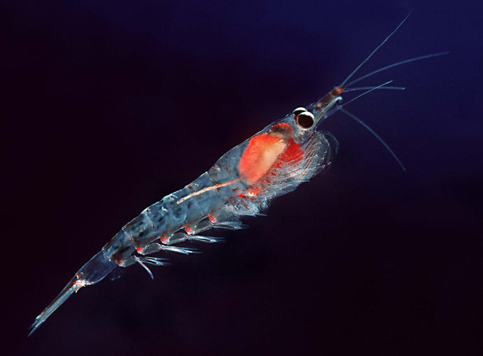 14 Surprising Krill Oil Benefits for Dry Eyes, Brain Health, Joints and more