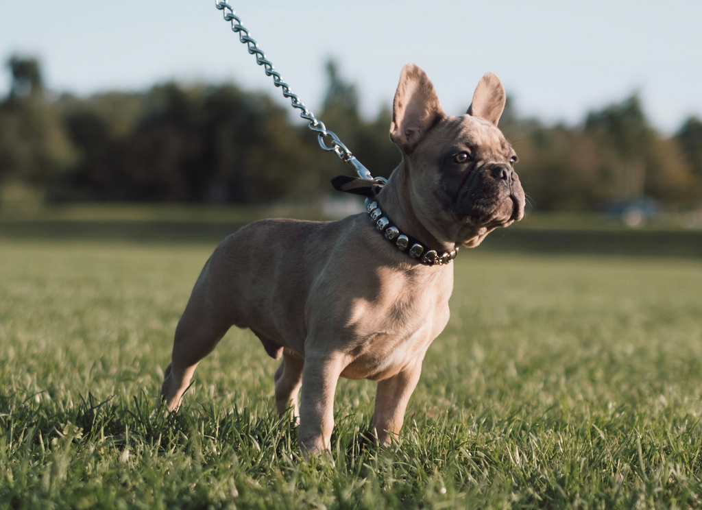 10 Most Popular Small Dog Breeds