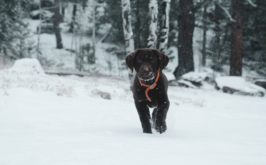 Pros and Cons of Getting a Winter Puppy
