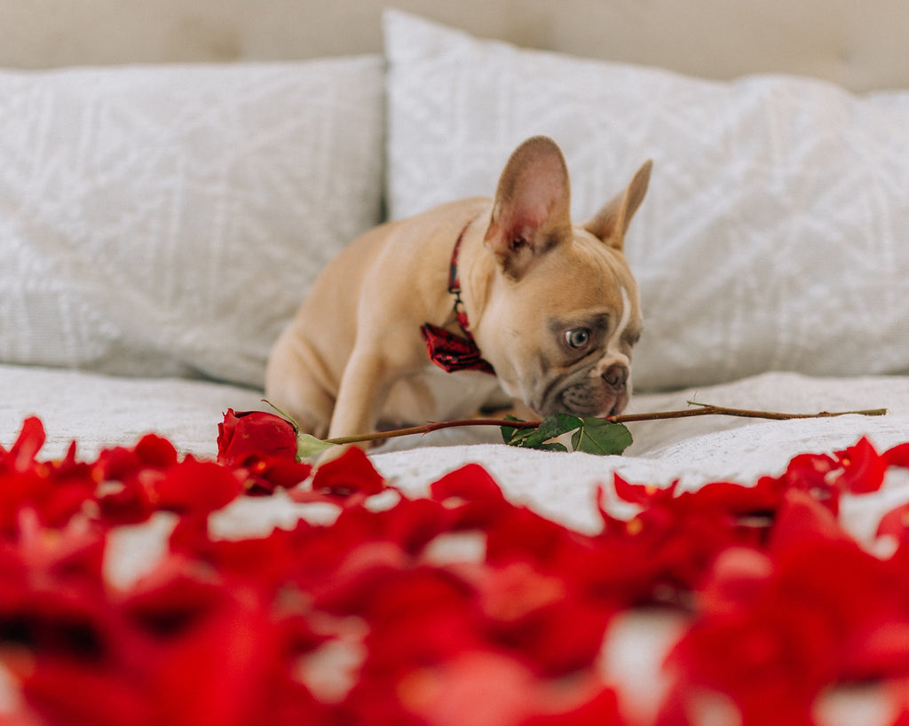 6 Tips for Keeping Your Pet Safe this Valentine's Day