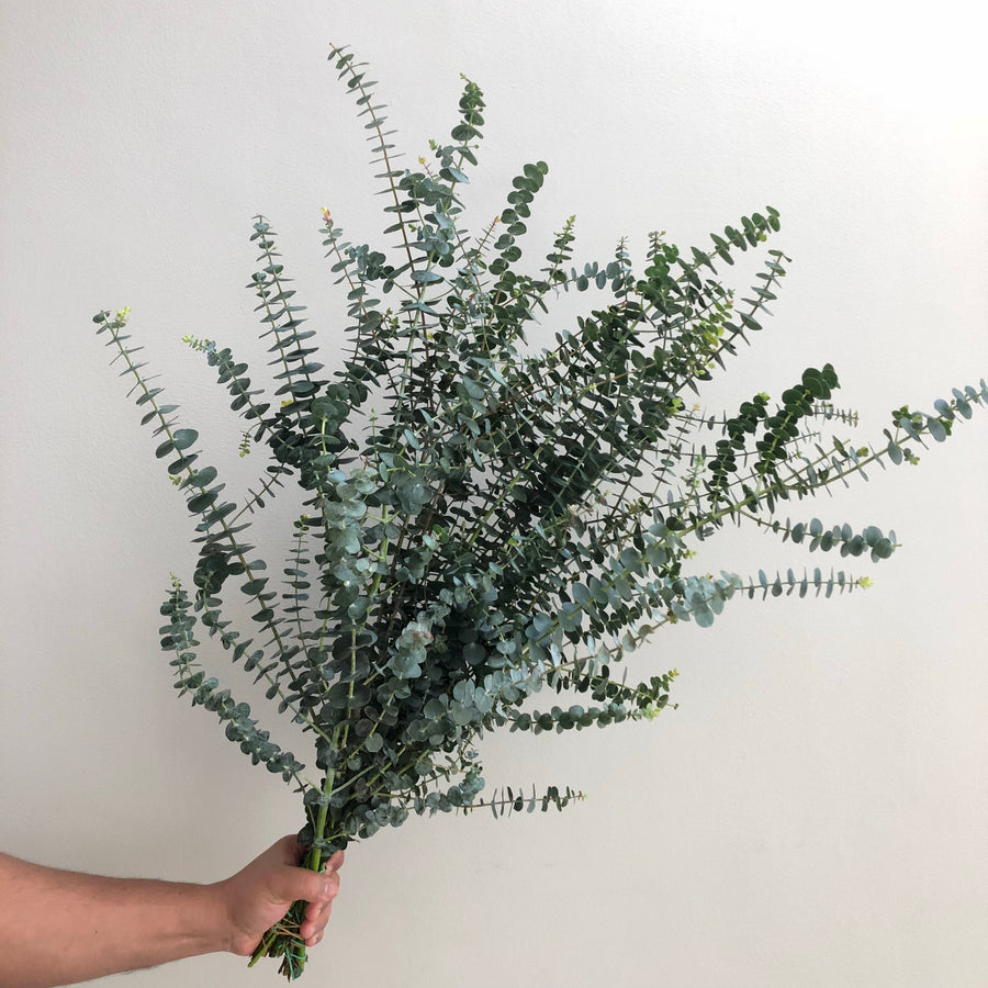 Eucalyptus Baby Blue Albenga pre-order for delivery Thursday morning