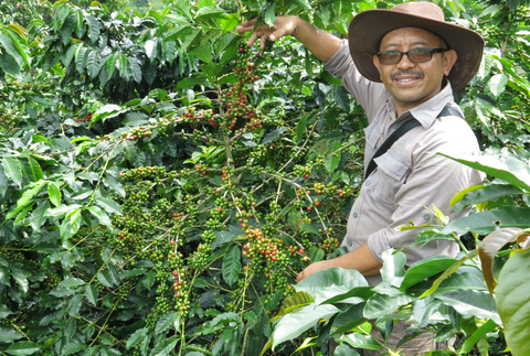 Shade grown coffee from the Java Frinsa Estate in Indonesia