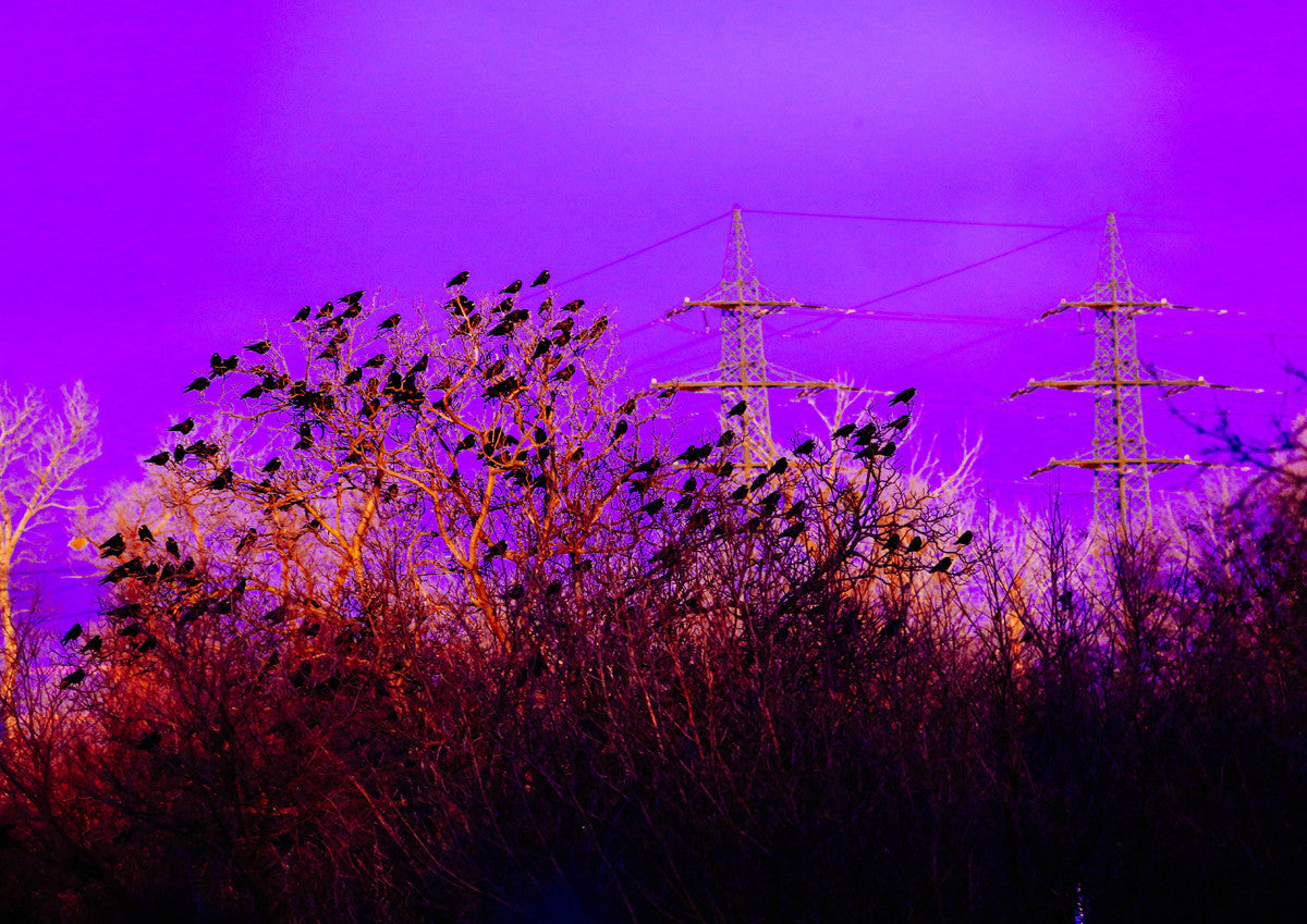 Purple Crows