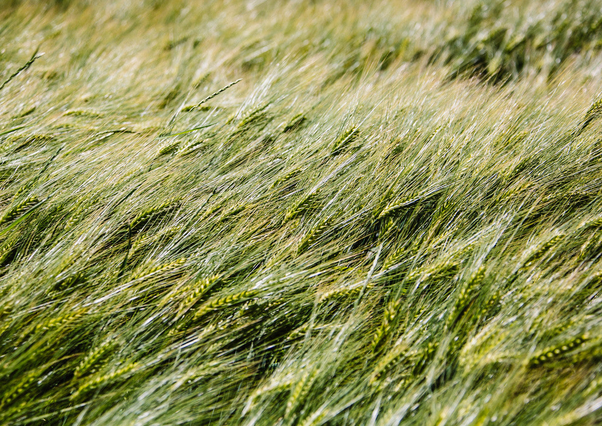 Grain in Wind