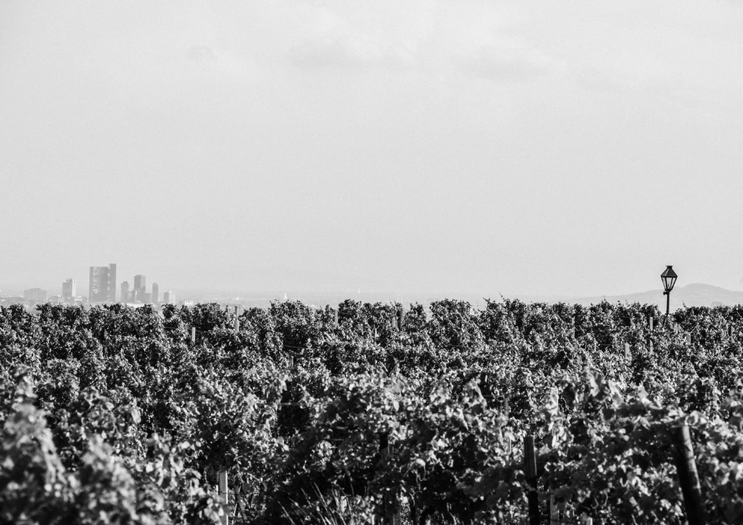 Vineyard over Vienna